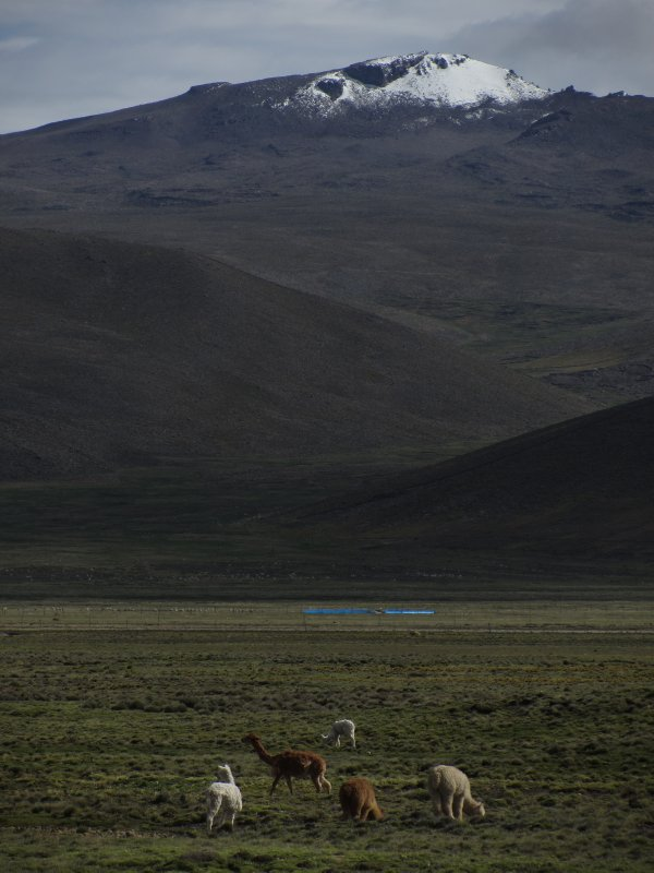 Llamas on the altiplano