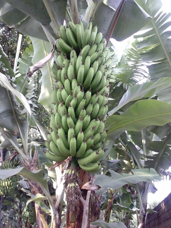 large_bananas201..20_17_45_53.jpg