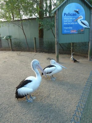 Pelicans at Featherdale Wildlife Park