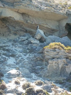Osprey perched high up on a cliff on Rottnest Island