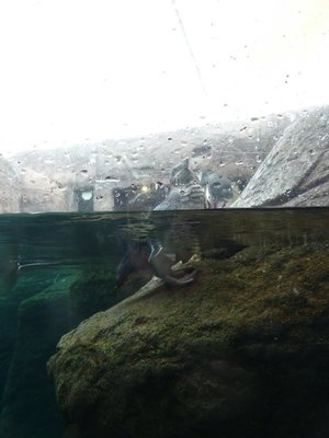 Penguin emerging from the water as seen from the glass window on their pool at the International Antarctic Centre