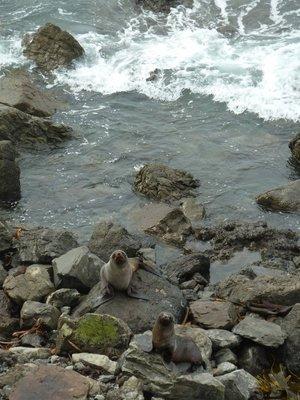 New Zealand Fur Seals at their Colony near Kaikoura
