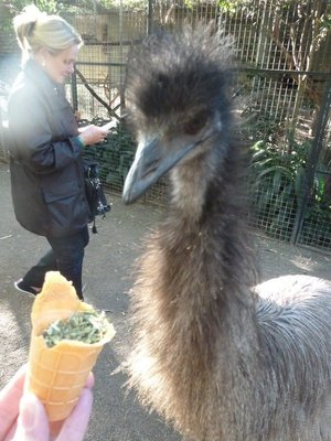 This Emu was so enthusiastic pecking the food I gave I feared he would get my hand!