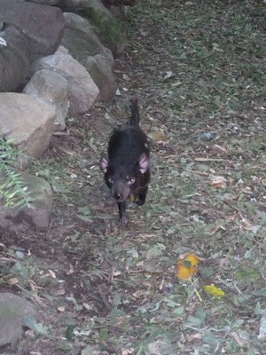 Tasmanian Devil running around his enclosure at Featherdale Wildlife Park
