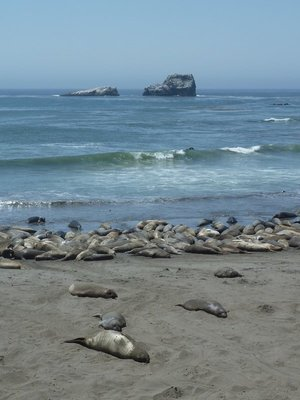 Elephant Seals packed on the beach at Piedras Blancas
