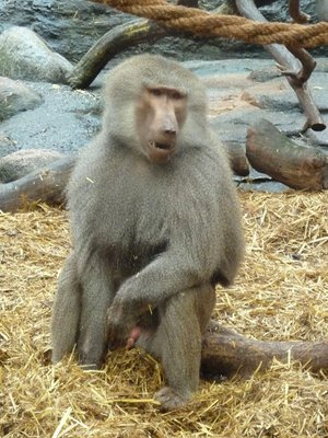 Baboon in his enclosure at Skansen