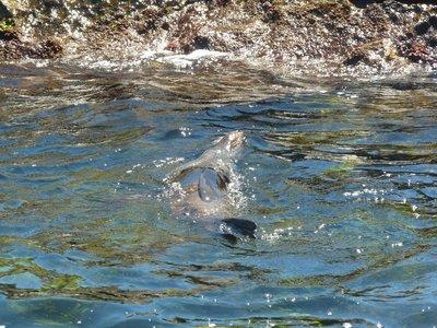 New Zealand Fur Seal floating on his back on Rottnest Island