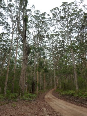 Karri Trees line the track as we drive through the Baranup Forest