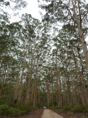 To give an idea of scale, our car stopped on the track amongst the Karri Trees in the Boranup Forest
