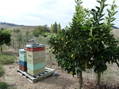 The bee hive near the lemon trees