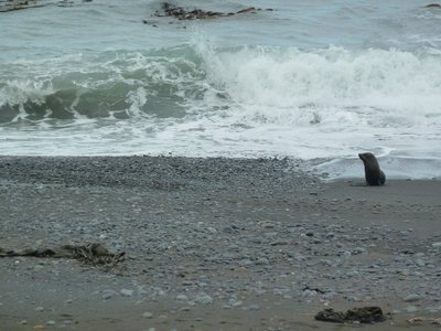 Seal coming ashore near Kaikoura