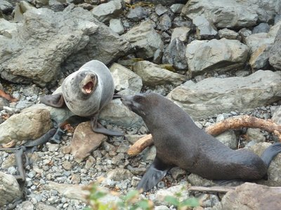 New Zealand Fur Seals at Kaikoura
