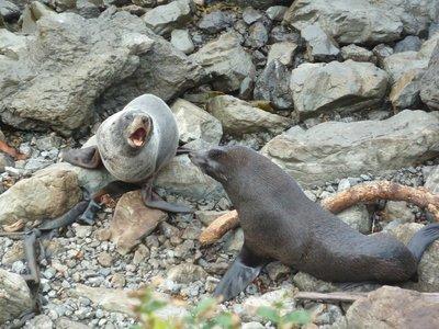 New Zealand Fur Seals at Kaikoura