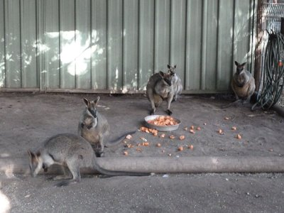 Swamp Wallabies at Featherdale Wildlife Park