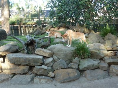 Dingoes at Featherdale Wildlife Park