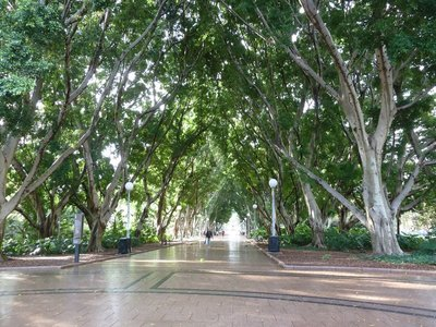 The fig tree lined avenue through the centre of Hyde Park in Sydney