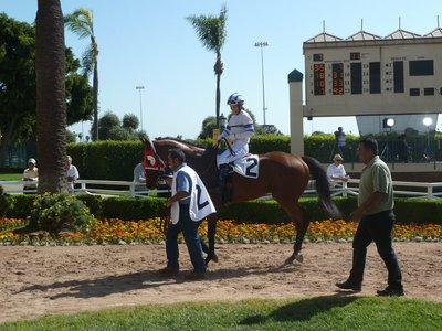 Horse being led around the Paddock at Hollywood Park before the 7th Race
