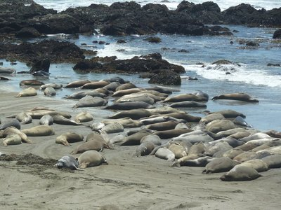 Elephant Seals packed on the beach near the rocks at Piedras Blancas