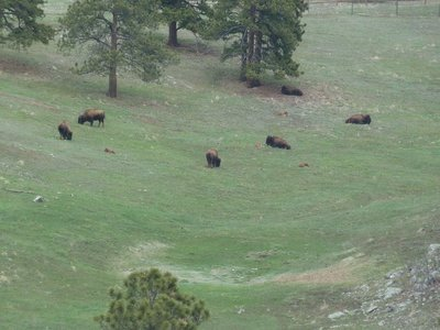 Bison grazing on a hillside next to the Interstate 70