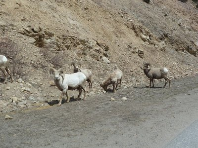Bighorn sheep on the hard shoulder of the Interstate 70 on the way up into the mountains
