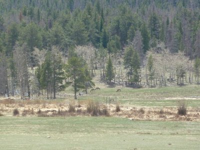 Our first sighting of Elk across the far side of Horseshoe Park