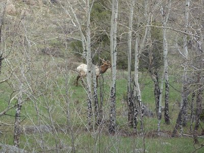 Male elk spotted through the trees approaching Moraine Park