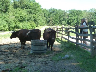 Cattle on the farm at Mount Vernon
