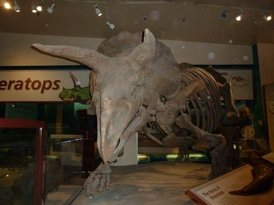 Triceratops skeleton on display in the Dinosaur Hall