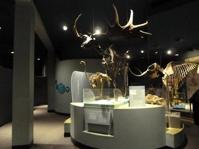 Irish Elk skeleton on display in the Ice Age Hall