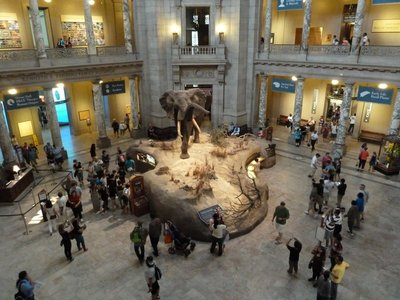 The African Bull Elephant on display in the Rotunda