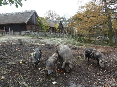 Feeding time for the pigs at the farm in the Skansen Open Air Museum