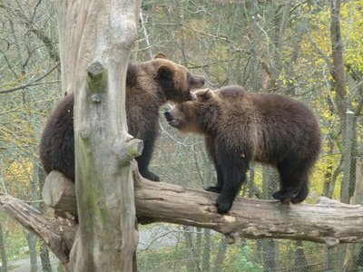 Brown Bears 'playing' (it looked like a fight!) in their enclosure at Skansen