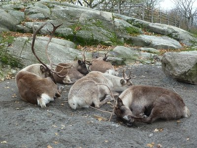 Reindeer at Skansen