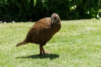 Dit is geen Kiwi, een Kiwi heeft een lange snavel