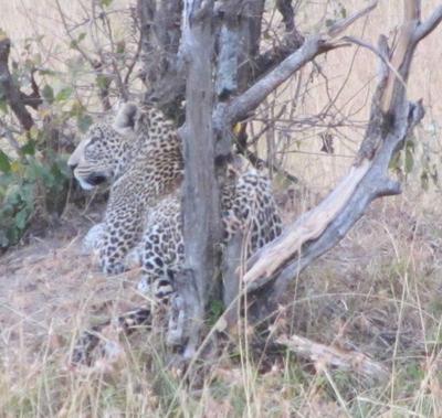 02292012 5 Leopard in Masai Mara