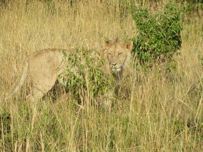 03022012 2 Young male lion in Masai Mara