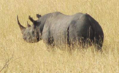 03022012 3 Black Rhino in Kenya