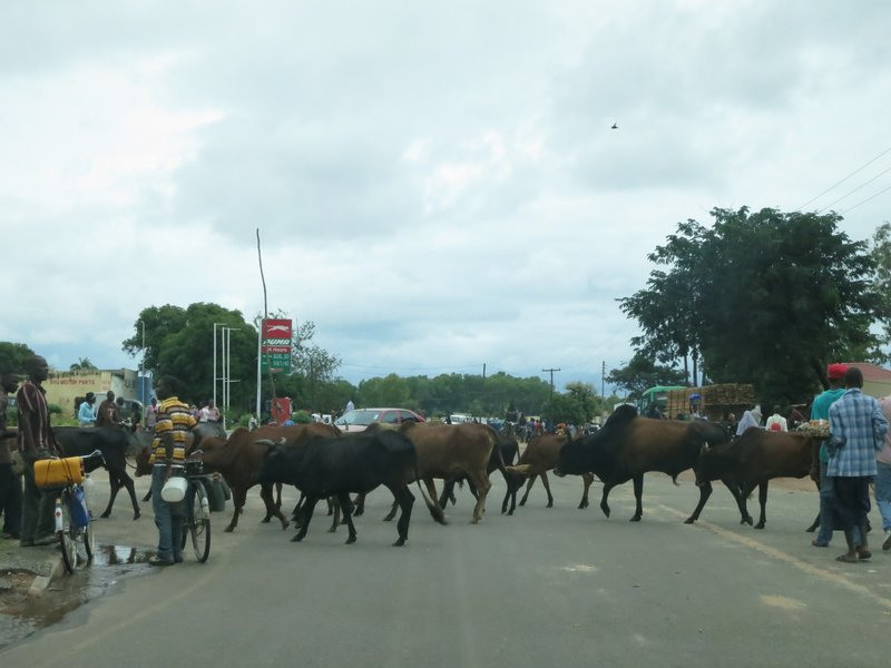 Cow crossing