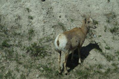 Badlands National Park - Big Horn Sheep
