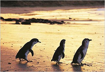 Penguins coming ashore at Phillip Island