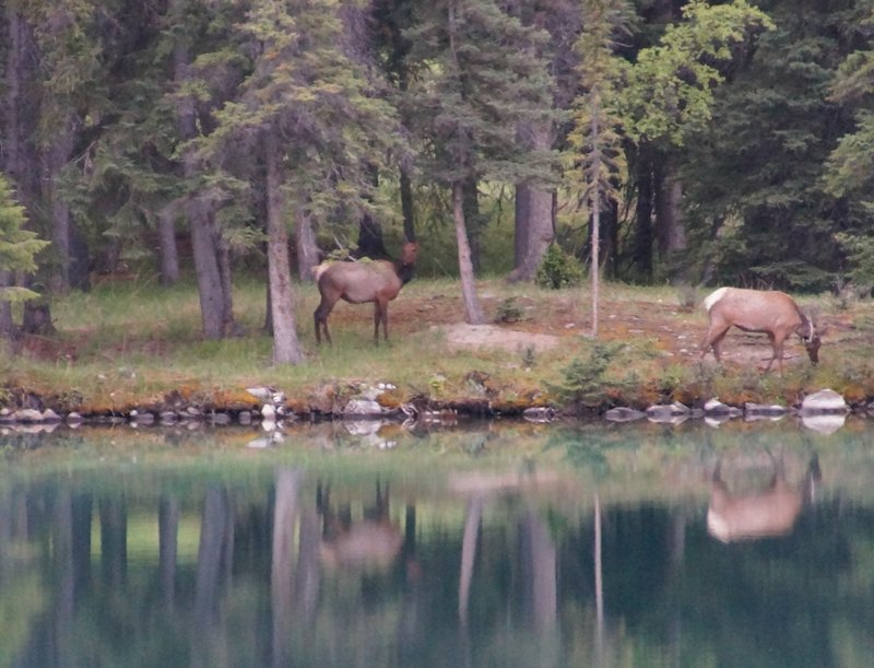 During dinner at 8.30 pm we spotted these deer across the lake-note the reflections in the lake