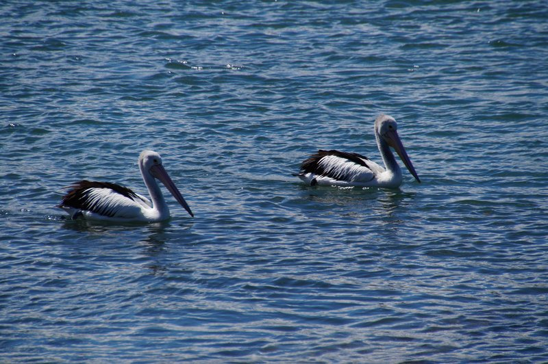 Pelicans sailing serenely by