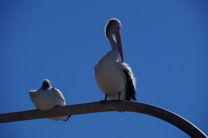 two Pelicans on the light pole. this bird was able to swivel his head more than 180 degrees