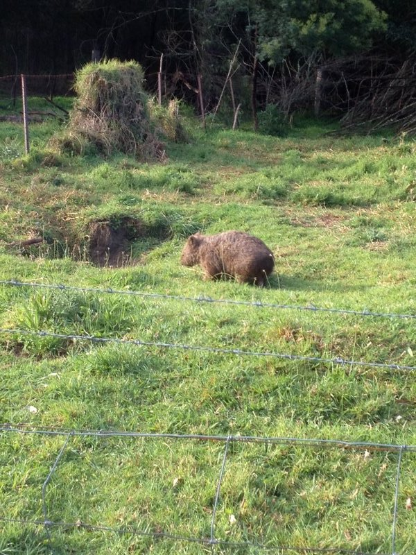 Wombat at Kangaroo Valley
