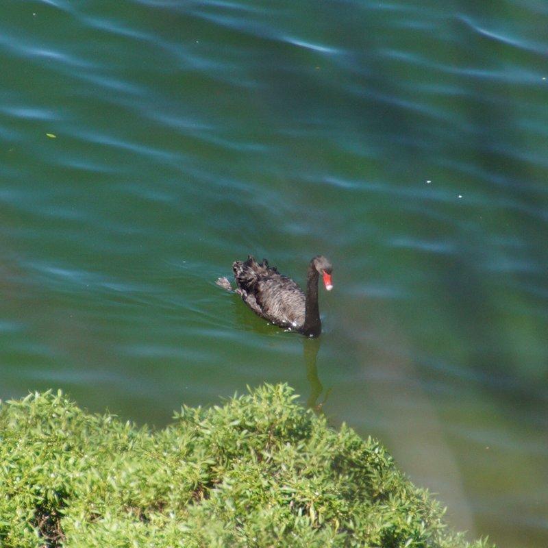 Black Swan on King Lake
