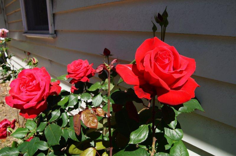 Rose Garden at Nyerimilang Heritage Park