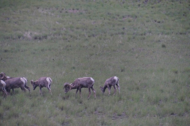 And more big horn sheep
