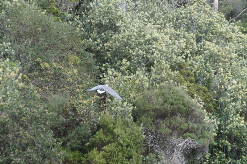 Sea eagle  on the Arthur River