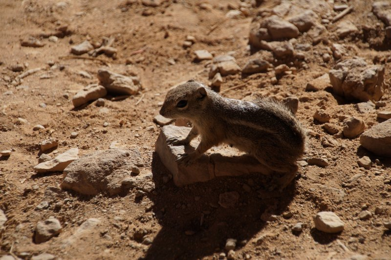 Chipmunk in the Grand Canyon