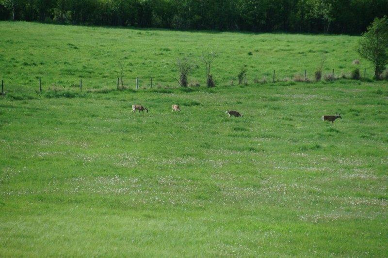 Deer leaving Sun Peaks